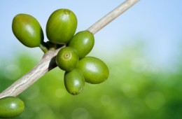 What is green coffee and its global consumption?